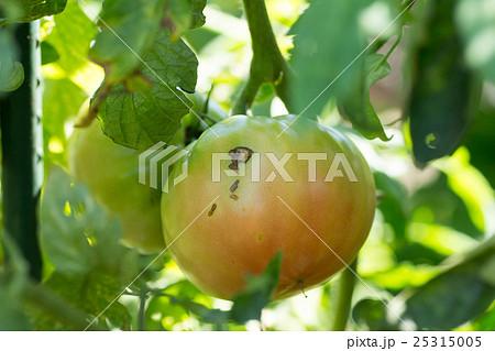 カメムシに吸われたトマトに残るダメージ痕 25315005
