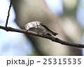 エゾビタキ 25315535