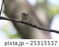 エゾビタキ 25315537