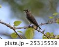 エゾビタキ 25315539