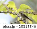 エゾビタキ 25315540