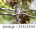 エゾビタキ 25315544