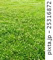 シロツメクサ 群生 満開の写真 25316872