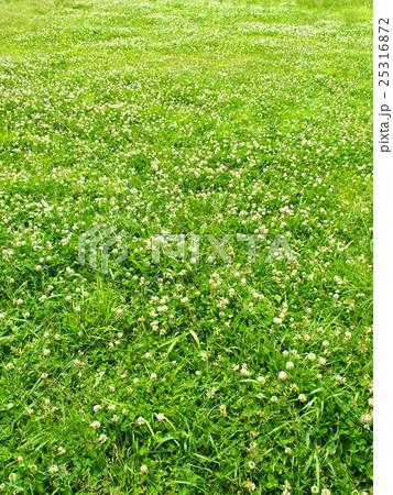 シロツメクサ咲く草原 25316872