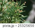 杉 花 花芽の写真 25325650