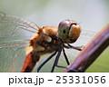 昆虫 虫 秋の写真 25331056