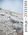 シベリウス公園 シロカモメ 25333369