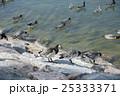 シベリウス公園 カオジロガン 25333371