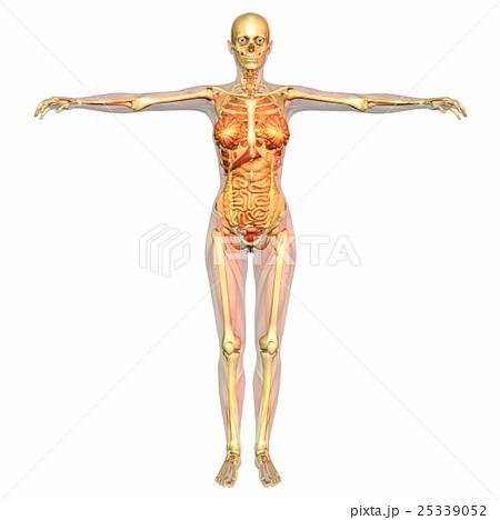 人体 解剖学 骨のイラスト素材 25339052 Pixta