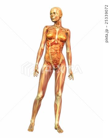 人体 解剖学 女性のイラスト素材 25339072 Pixta