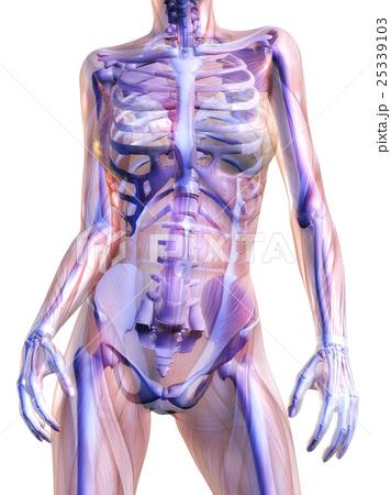 人体 解剖学 骨格のイラスト素材 25339103 Pixta