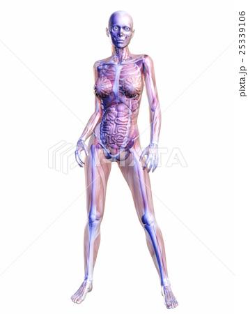 人体 解剖学 骨のイラスト素材 25339106 Pixta