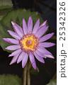 花 紫 紫色の写真 25342326
