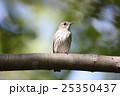 エゾビタキ 25350437