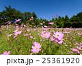 とよのコスモスの里 コスモス 花の写真 25361920