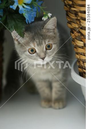 かくれんぼする子猫(ブリティッシュショートヘア)の写真素材 [25364084] - PIXTA