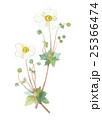 シュウメイギク キブネギク 花のイラスト 25366474