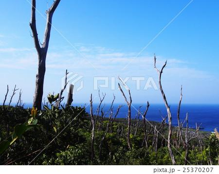 三宅島 火山ガスで立ち枯れた木々 25370207