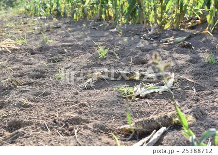 鹿の被害を受けたトウモロコシ畑 25388712