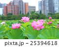 蓮 不忍池 上野恩賜公園の写真 25394618