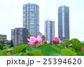 蓮 不忍池 上野恩賜公園の写真 25394620