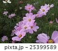 秋の花コスモスが沢山咲いています 25399589