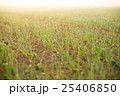 Background of Young wheat grass 25406850