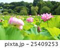 蓮 不忍池 上野恩賜公園の写真 25409253