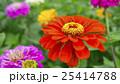 植物 花 百日草の写真 25414788