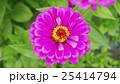 植物 花 百日草の写真 25414794