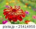 植物 花 百日草の写真 25414950