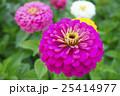 植物 花 百日草の写真 25414977