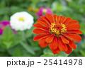 植物 花 百日草の写真 25414978