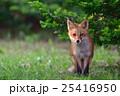 哺乳類 イヌ科 動物の写真 25416950