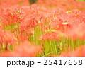 彼岸花 曼珠沙華 群生の写真 25417658