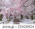 満開の桜に冠雪 25426924