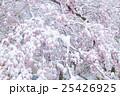 満開の桜に冠雪 25426925