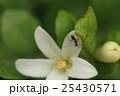 アリ あり 蟻の写真 25430571
