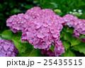 紫陽花 25435515