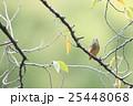 桜の木にとまるカワセミ 25448068