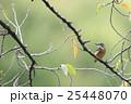 桜の木にとまるカワセミ 25448070
