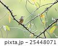 桜の木にとまるカワセミ 25448071