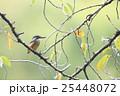 桜の木にとまるカワセミ 25448072