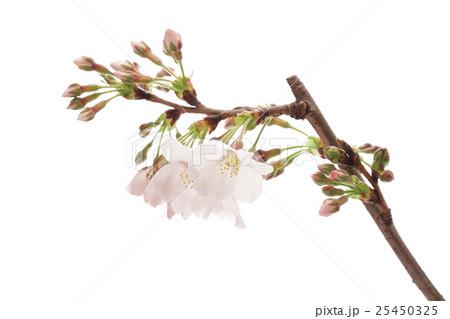 桜のクローズアップの写真素材 [25450325] - PIXTA