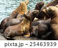 動物 アザラシ トドの写真 25463939