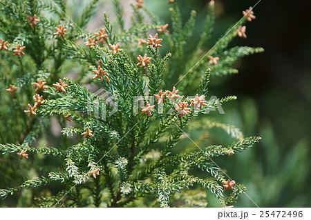 杉の花 花言葉は「あなたのために生きる」 25472496