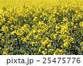 花 黄色い 黄の写真 25475776