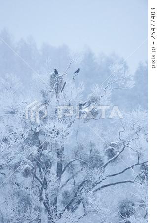 カラスが止まる冬の木 25477403