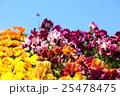 春色【ビオラ】 25478475