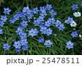 花韮 ハナニラ 花の写真 25478511
